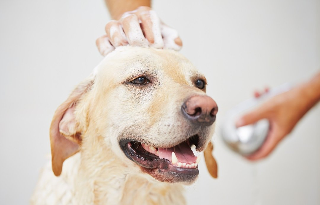 Best Waterless Shampoo For Dogs
