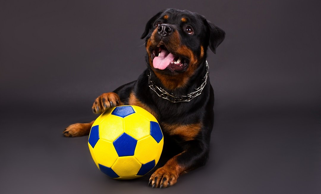 WHAT ARE DOG TOYS FOR LARGE BREEDS, AND THEIR BENEFITS
