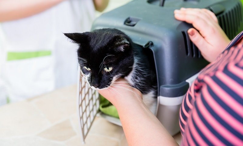 How To Prepare a Cat for a Travel
